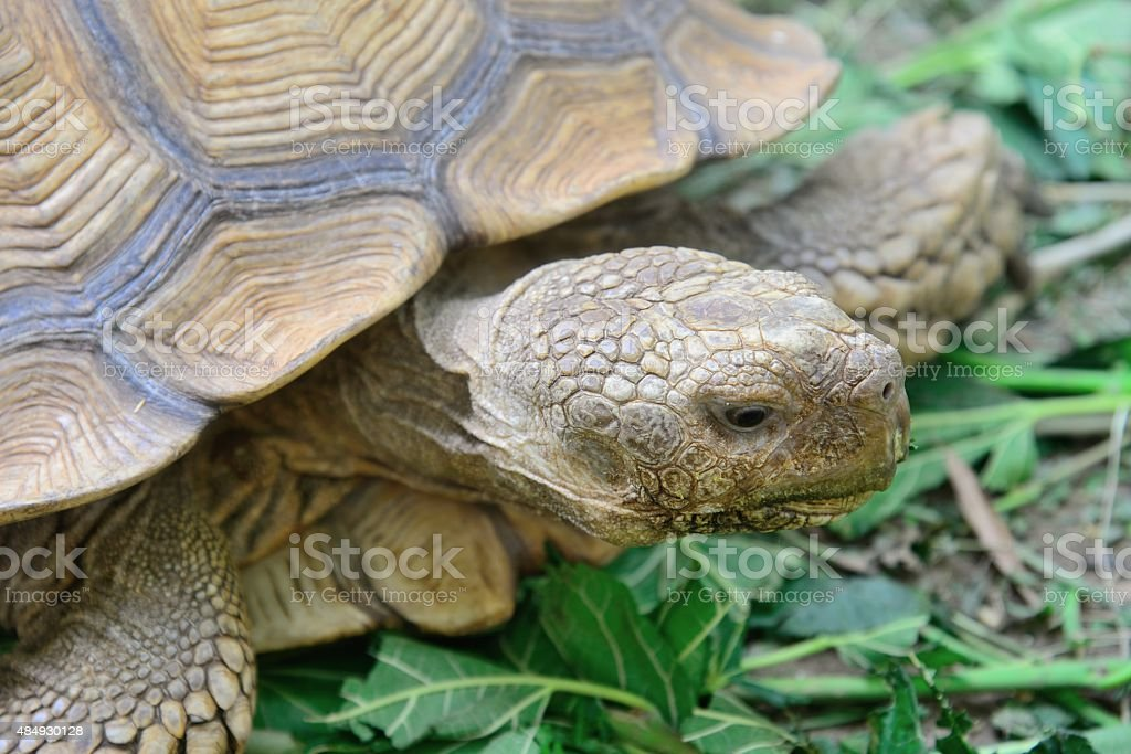 Sulcata Tortoise stock photo