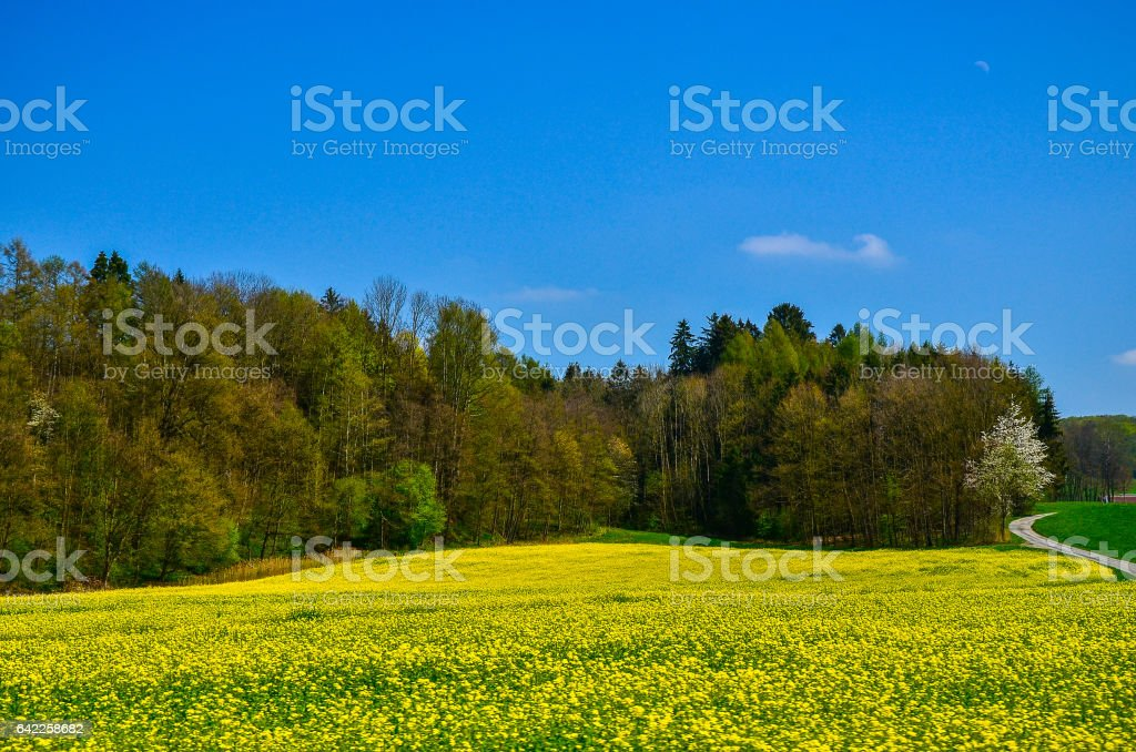 Sulfur Cosmos stock photo