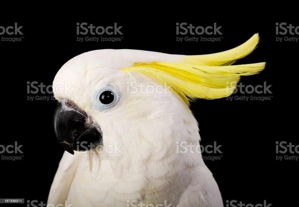 Sulfur Crested Cockatoo Close-Up stock photo