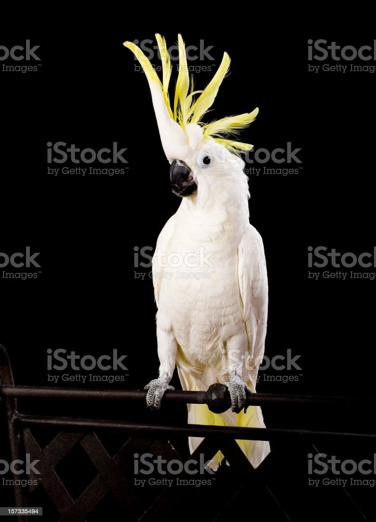 Sulfur Crested Cockatoo Close-Up stock photo