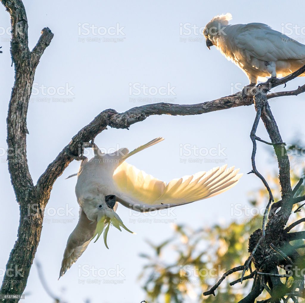 Sulfur crested Cockatoos stock photo