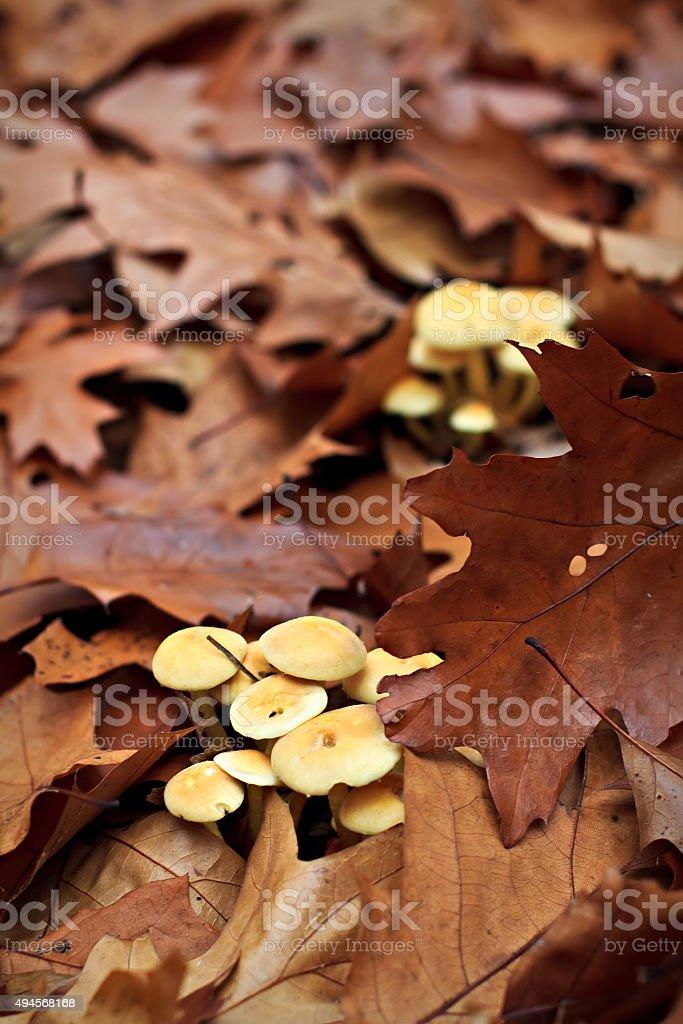 Sulfur tuft mushroom stock photo