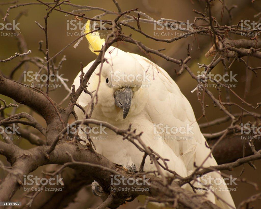 Sulfur-crested cockatoo stock photo