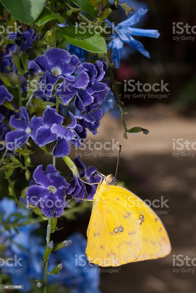 Sulphur Butterfly (Phoebis species) stock photo