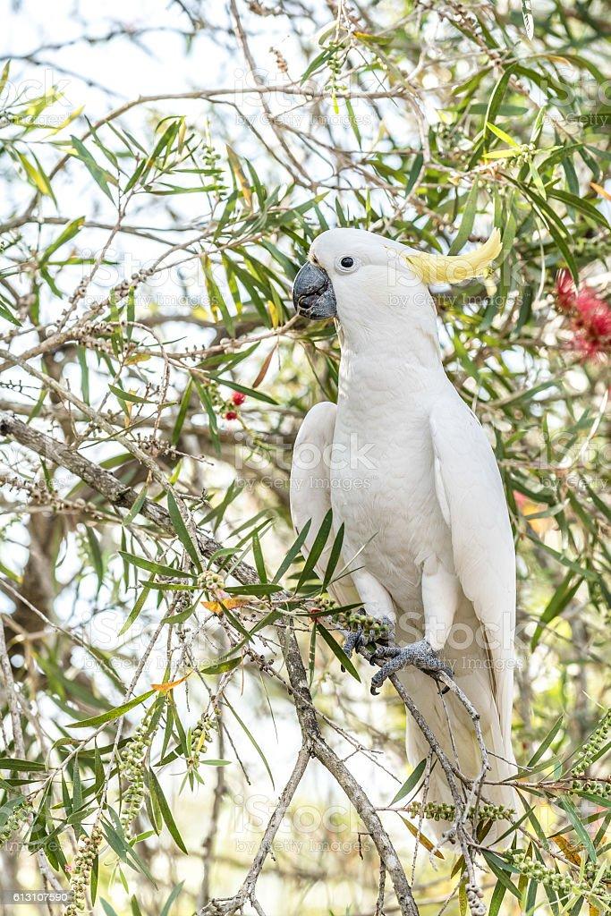 Sulphur Crested Cockatoo stock photo