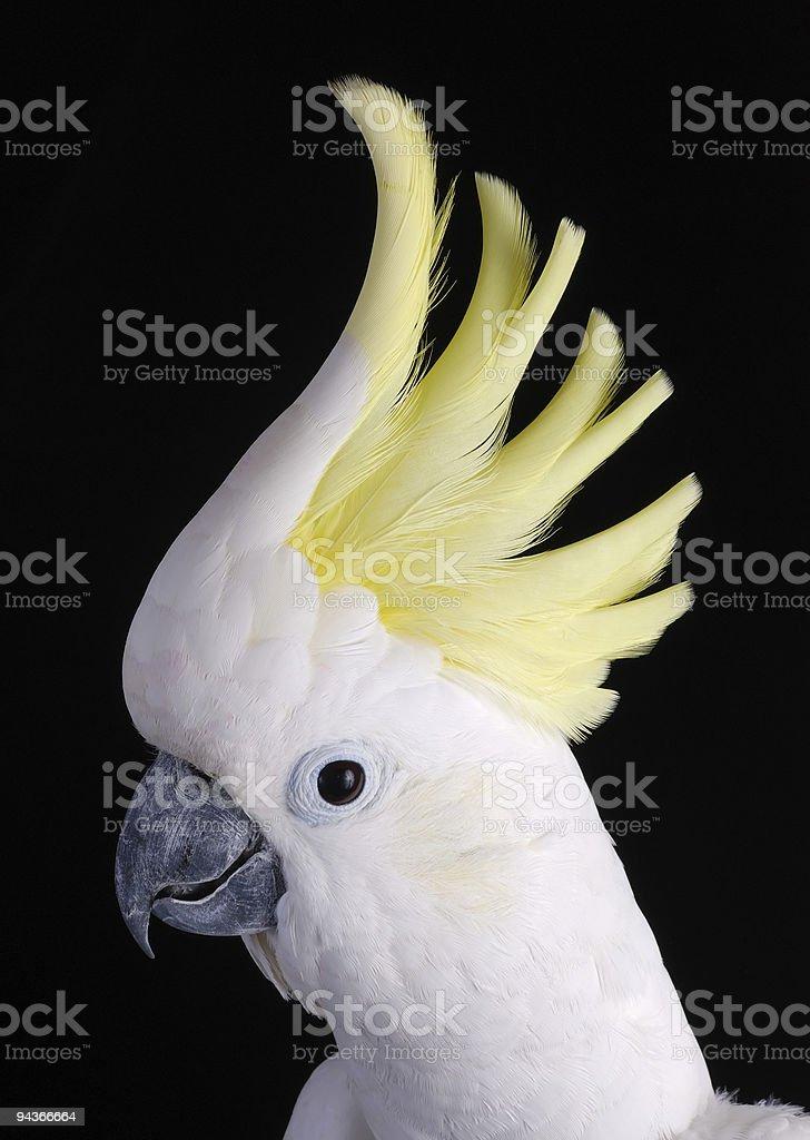 Sulphur Crested Cockatoo royalty-free stock photo
