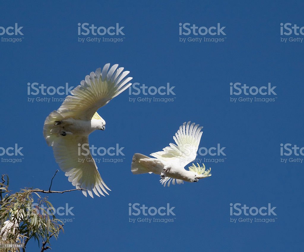 Sulphur Crested Cockatoos agianst blue sky royalty-free stock photo