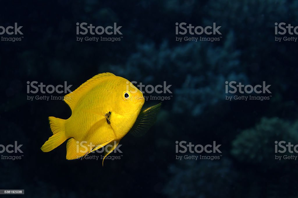 Sulphur damsel (Pomacentrus sulfureus) stock photo