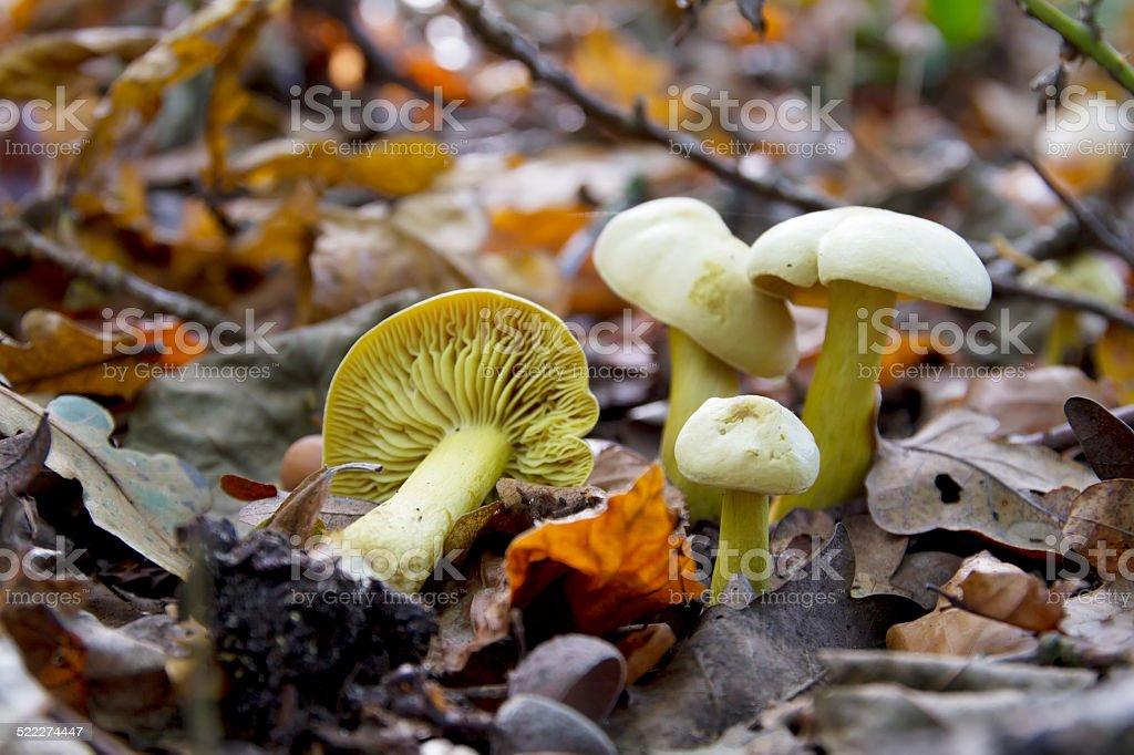 Sulphur Knight Gas Agaric (Tricholoma sulphureum) stock photo