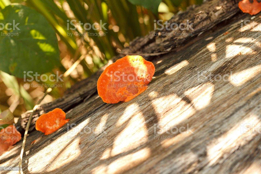Sulphur Tuft, a poisonous mushroom. stock photo