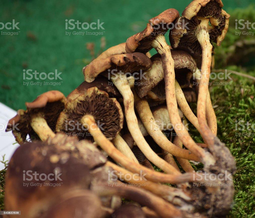 Sulphur tuft, bitter and poisonous mushroom stock photo