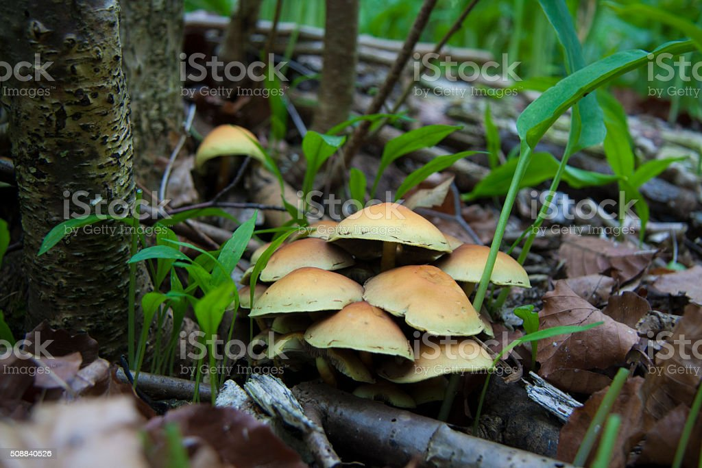 Sulphur tuft fungus cluster growing on forest floor stock photo