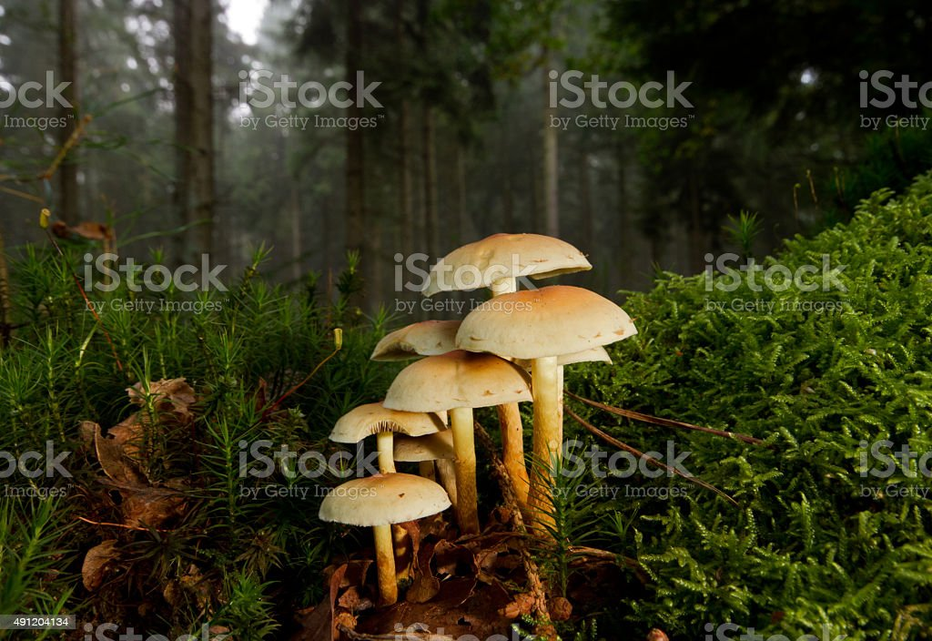 Sulphur tuft in a forest between moss stock photo