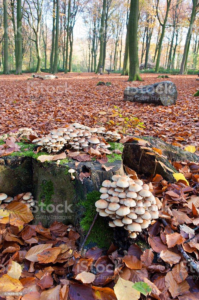 sulphur tuft mushrooms growing on a tree trunk in Autumn stock photo