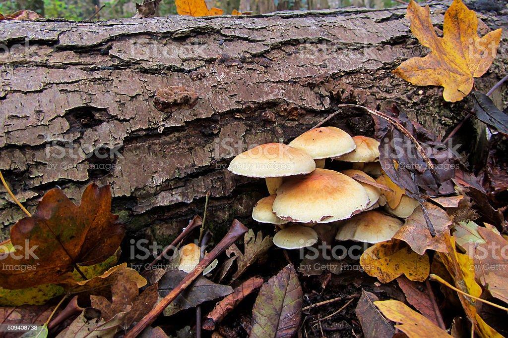 Sulphur Tuft mushrooms on dead tree trunk stock photo