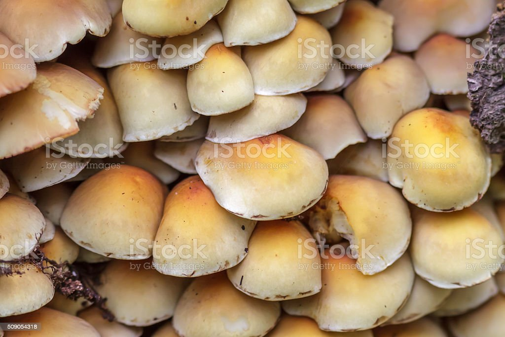 Sulphur Tuft mushrooms (Hypholoma fasciculare) stock photo