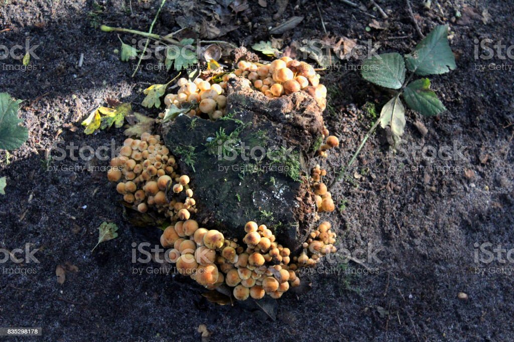 sulphur tuft (Hypholoma fasciculare) stock photo