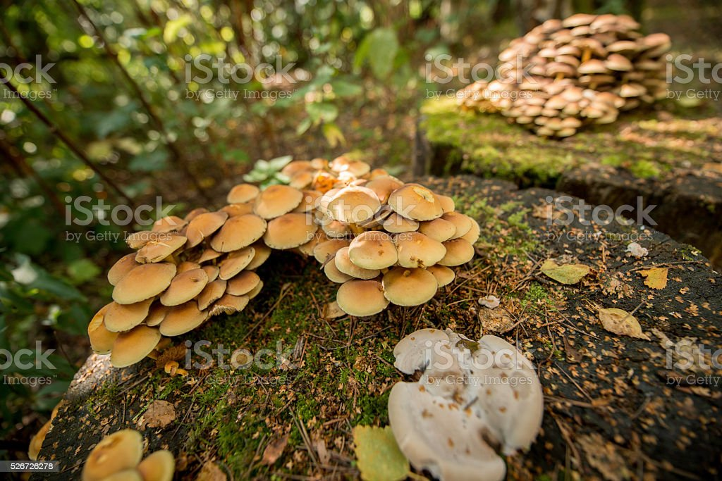 Sulphur Tufted Funghi stock photo