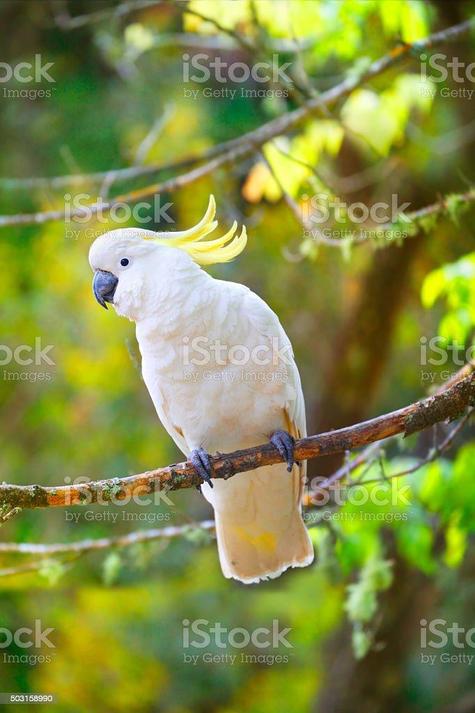 Sulphur-crested cockatoo bird stock photo