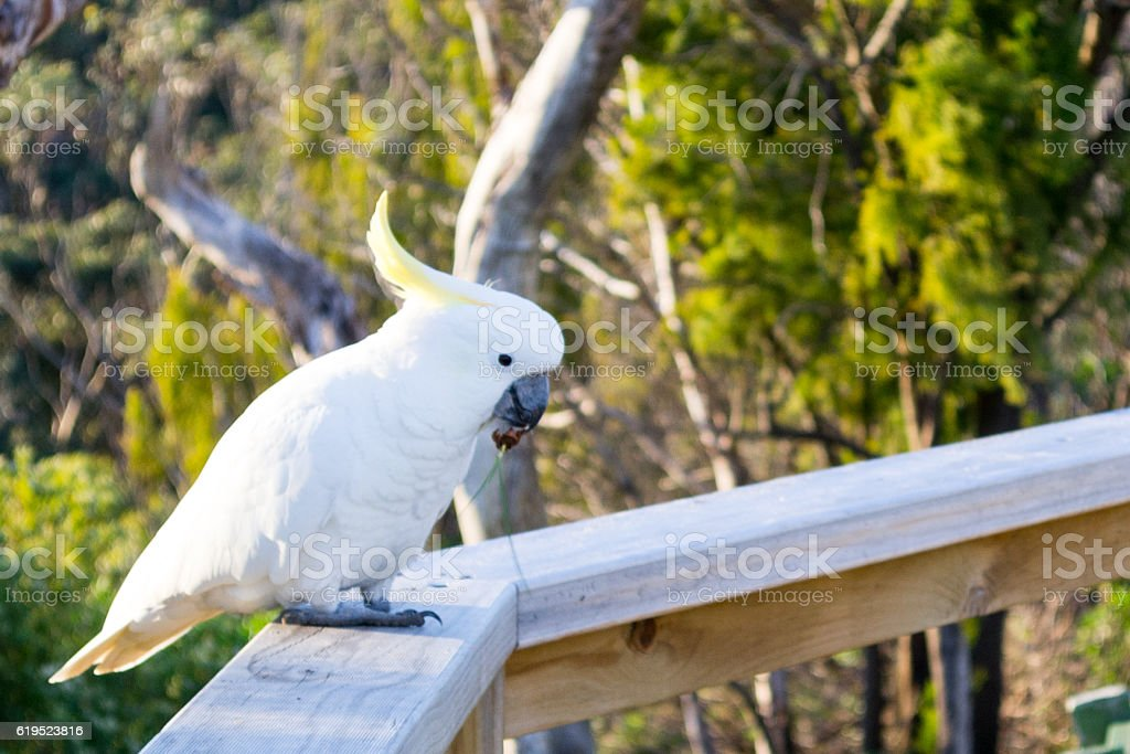 Sulphur-crested cockatoo by the GReat OCean Road stock photo