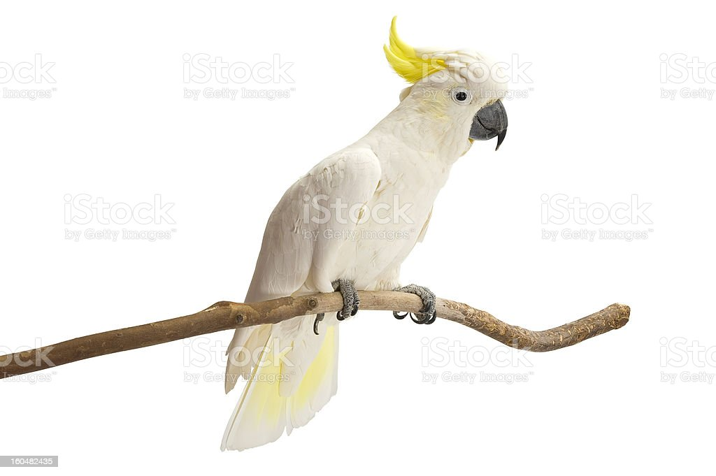 Sulphur-crested Cockatoo, Cacatua galerita perched on a white background. stock photo