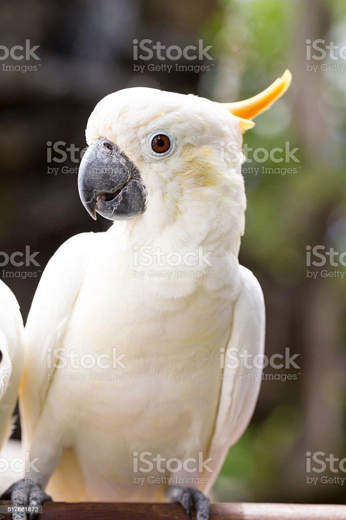 Sulphur-crested Cockatoo, Cacatua galerita perched on branches stock photo