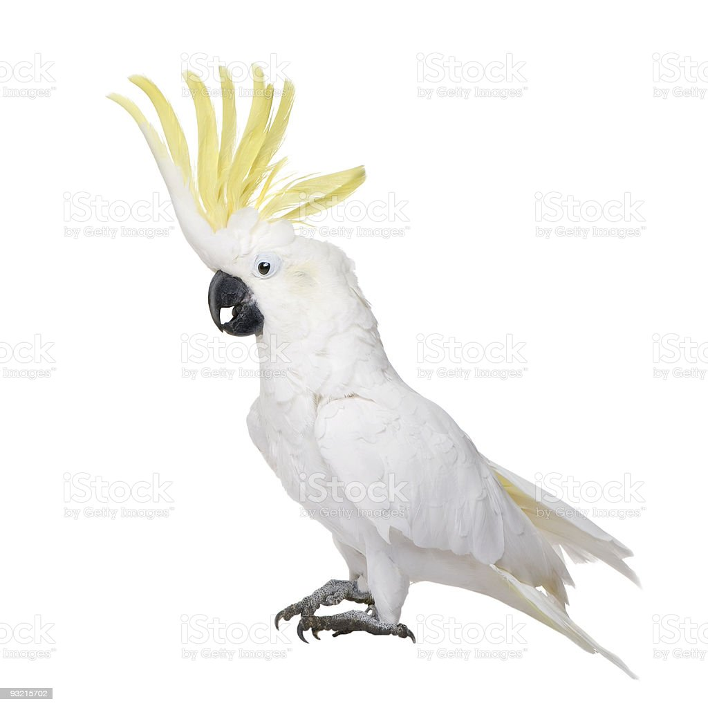 Sulphur-crested Cockatoo (22 years) - Cacatua galerita stock photo