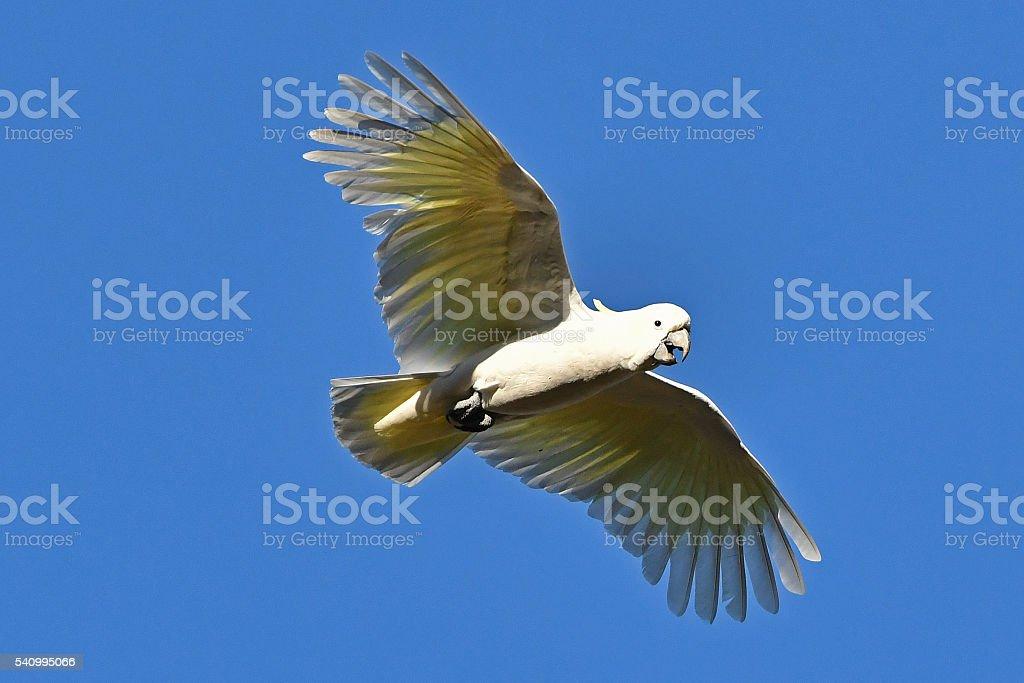 Sulphur-crested Cockatoo in flight stock photo