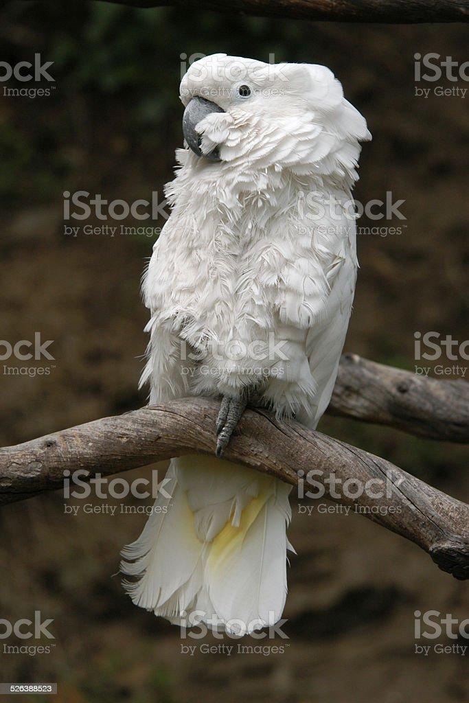 Sulphur-crested cockatoo stock photo