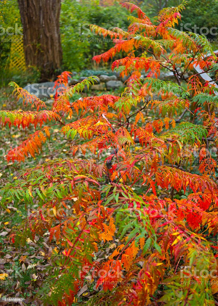Sumac bush in the rain, autumn. stock photo