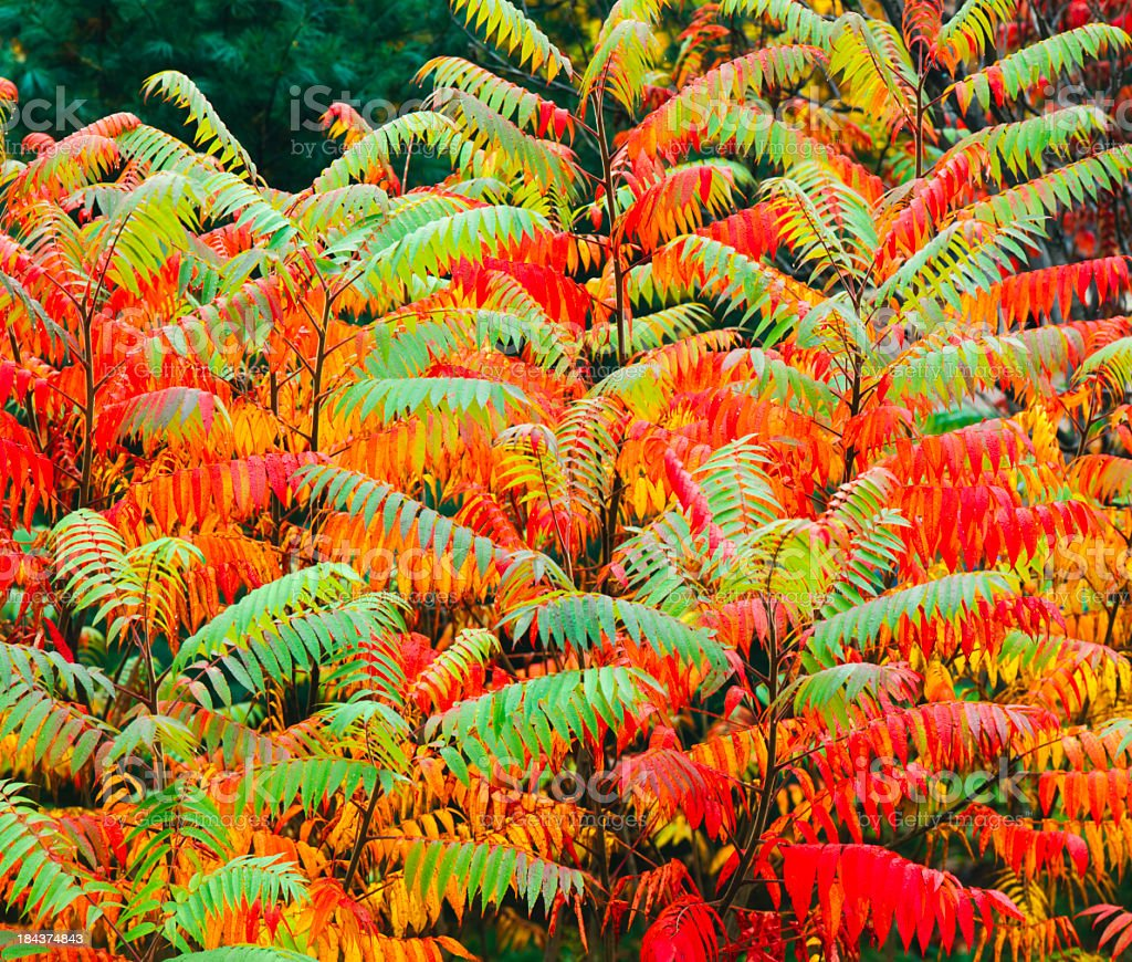 Sumac in many colors! (P) stock photo