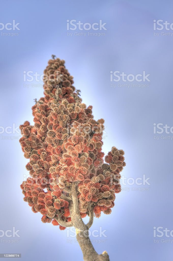 Sumac In Winter royalty-free stock photo