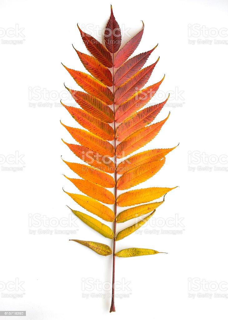Sumac Leaf in Autumn stock photo