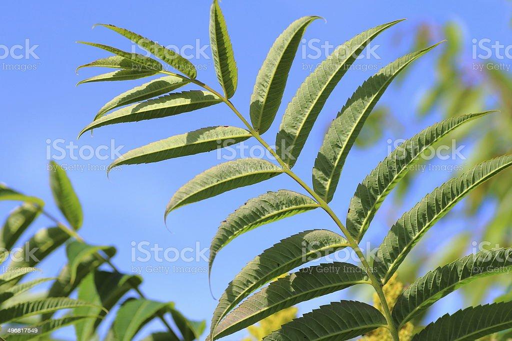 Sumac leaf royalty-free stock photo