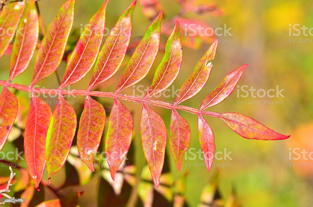 Sumac leaves changing to fall colors stock photo