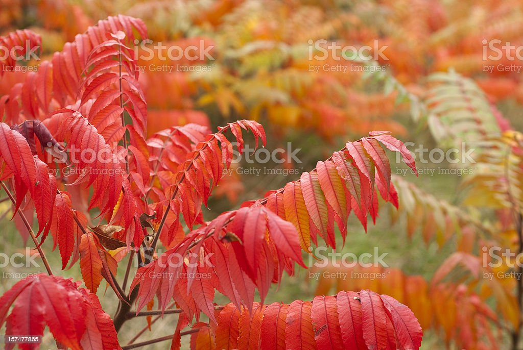 Sumac Leaves in Autumn stock photo