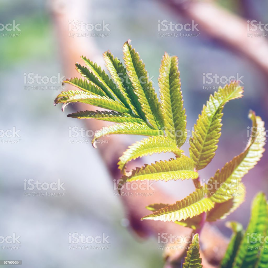 Sumac Rhus typhina also called Virginia Sumac close-up plant leaf growing under sunlight in spring season stock photo