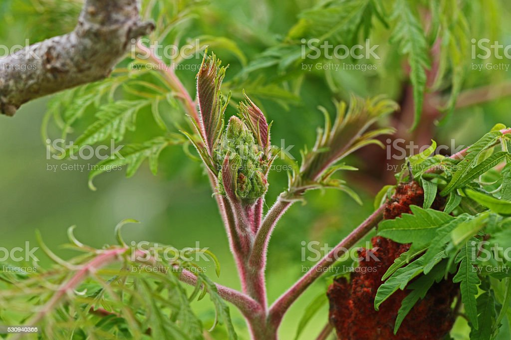 sumac sumach rhus typhina panicle anacardiaceae bud stag-horn stock photo