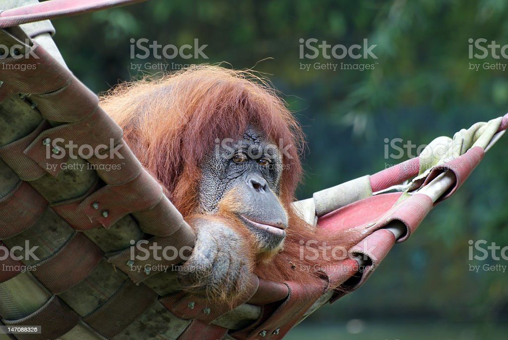 Sumatran Orang Utan Closeup Portrait royalty-free stock photo
