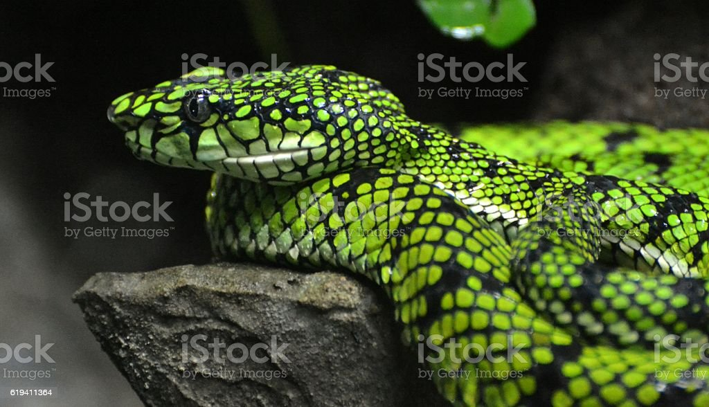 Sumatran Pit Viper (Trimeresurus sumatranus) stock photo