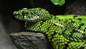 Sumatran Pit Viper (Trimeresurus sumatranus)