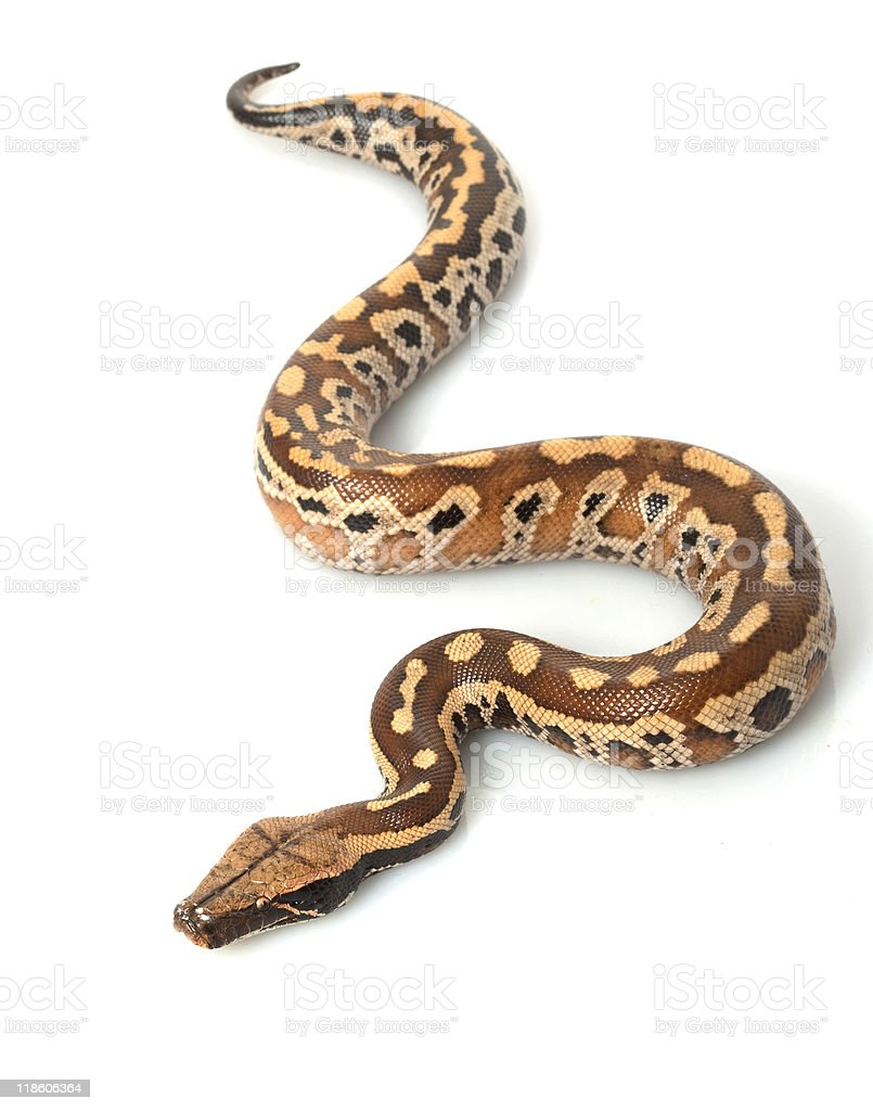Sumatran Red Blood Python royalty-free stock photo