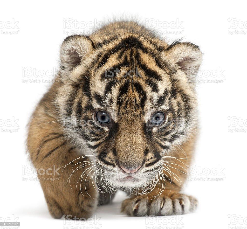 Sumatran Tiger cub, Panthera tigris sumatrae, 3 weeks, white background royalty-free stock photo