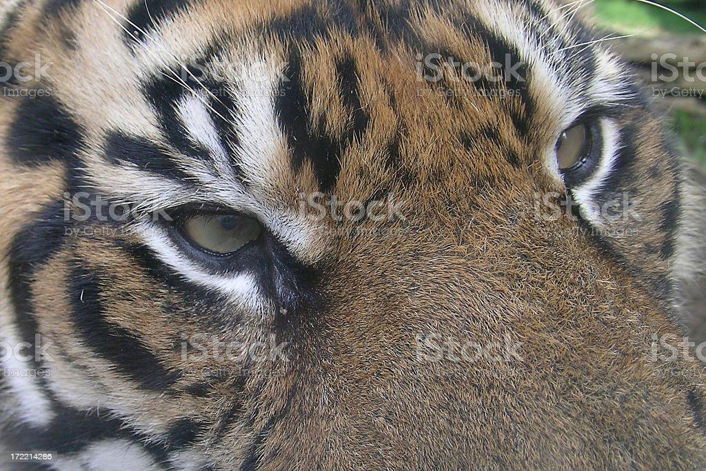 Sumatran Tiger Eyes royalty-free stock photo