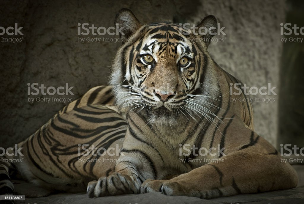Sumatran Tiger in a Zoo stock photo