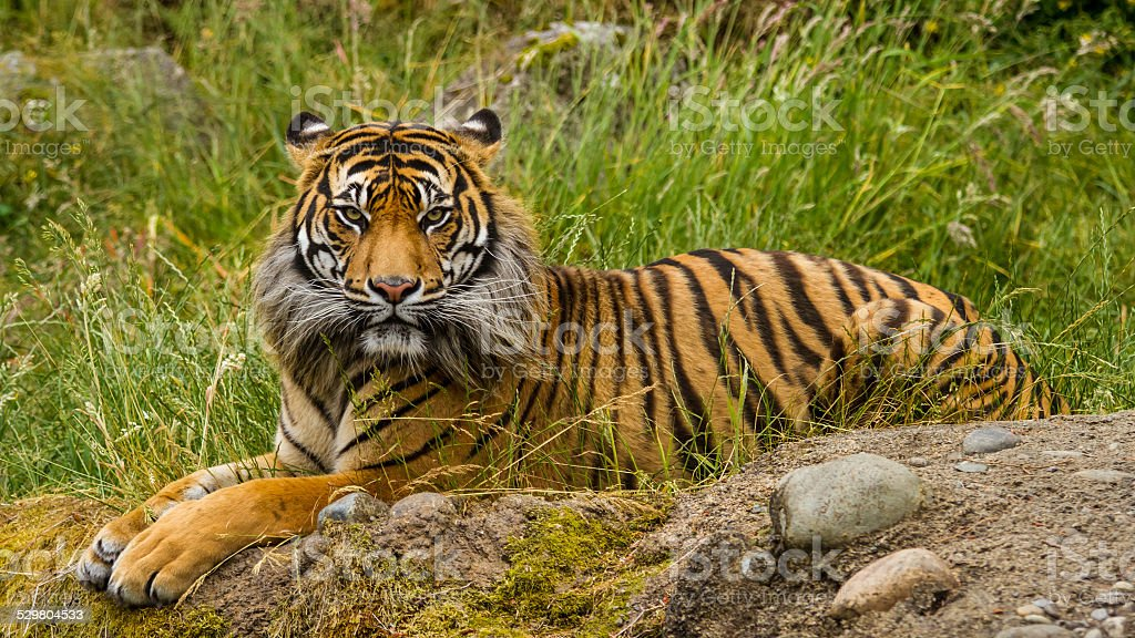 Sumatran Tiger royalty-free stock photo