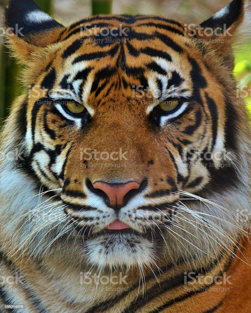 Sumatran Tiger Portrait stock photo