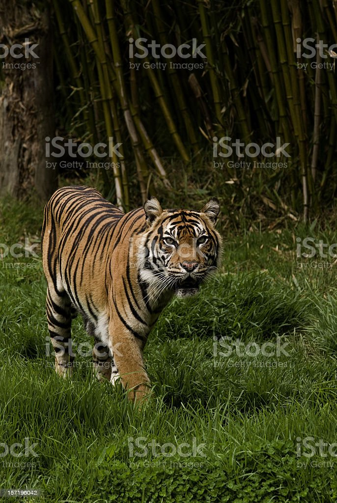 Sumatran tiger roaming the jungle stock photo