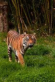 Sumatran tiger roaming the jungle