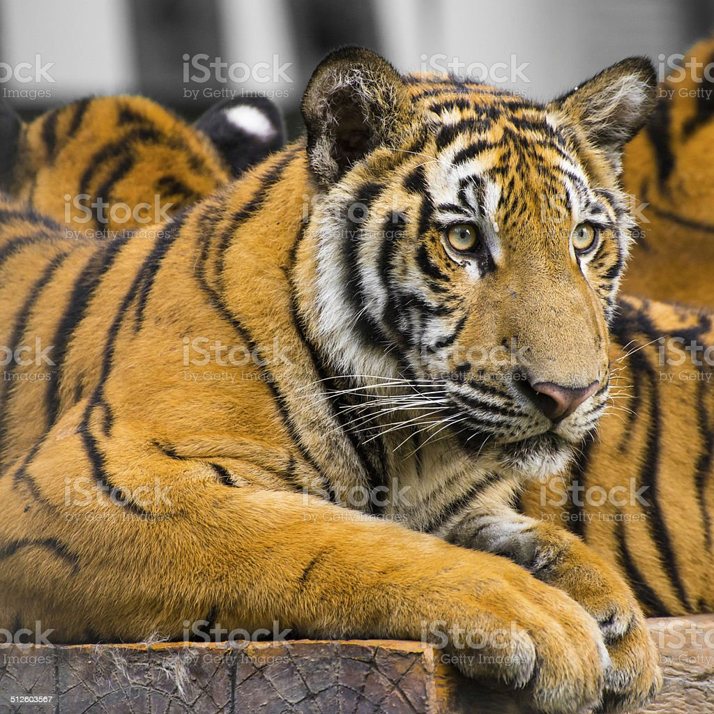 Sumatran tiger sitting on the table. stock photo